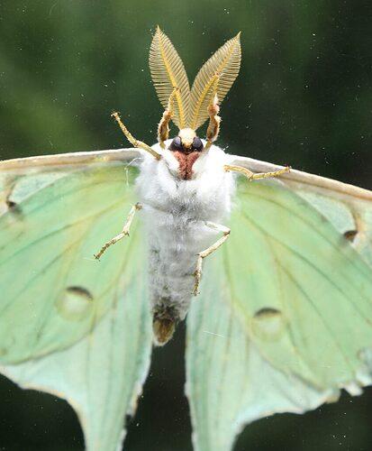 luna-moth-317901_1280-e1590154211467